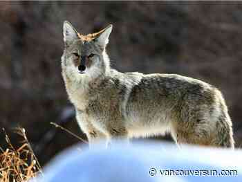 Multiple coyote sightings reported in Metro Vancouver this weekend - Vancouver Sun