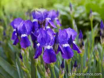 Fall replanting not ideal for bearded irises