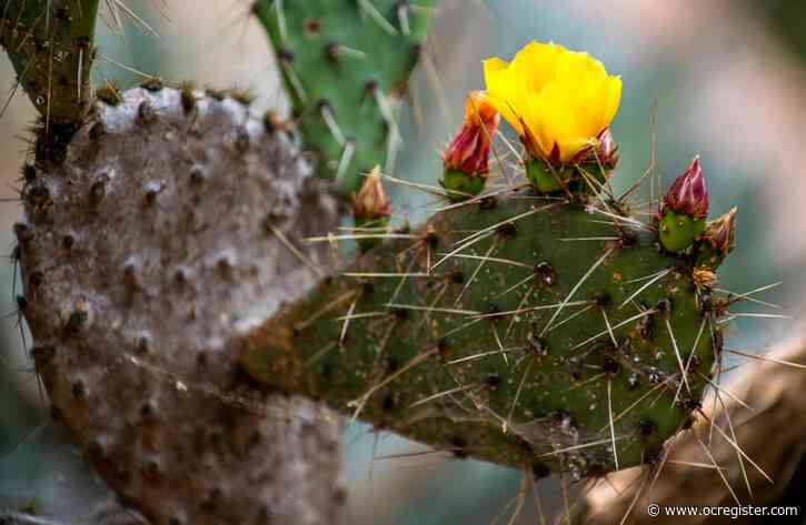 Why a prickly pear cactus is oozing a white substance