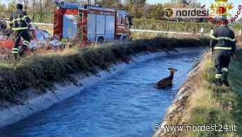 Coppia di cervi bloccati nel canale a Roveredo in piano: soccorsi dai pompieri - Nordest24.it
