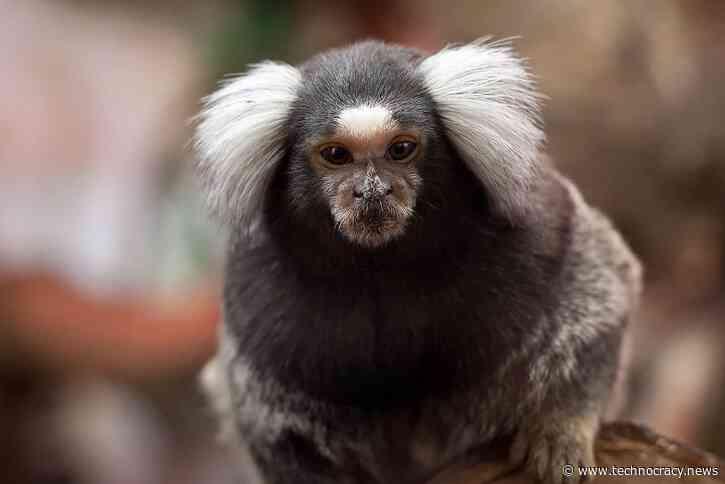 Scientists Splice Human Genes Into Monkey Brains