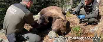 Mort de l'ours Cachou: une personne arrêtée en Espagne