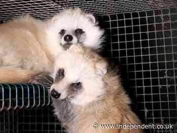 It's not just mink: Foxes and raccoon dogs on fur farms 'may infect humans with coronaviruses', scientists warn