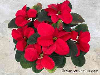 Brian Minter: Poinsettias are the most widely grown plant in the world
