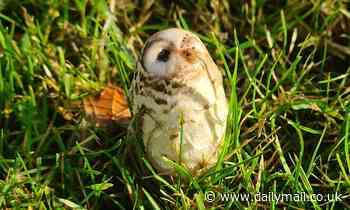 Good Samaritan tries to rescue 'injured baby owl'… before she realises it's actually a MUSHROOM