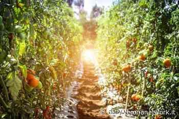 Bovolone, al mercato contadino prodotti del territorio - Daily Verona Network
