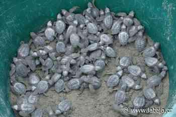Voluntarios mantienen a tortuguitas seguras - La Teja
