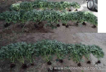 Echuca man issued cannabis caution - Riverine Herald