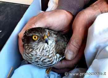 Piana Crixia, soccorso sparviere dalla Protezione Animali savonese - Primocanale