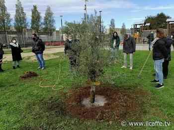 Piantato un ulivo al parco Europa ad Aprilia in memoria dei coniugi Marchetti - Il Caffè.tv