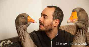 Lonely man ordered to get rid of two pet geese because of their constant honking