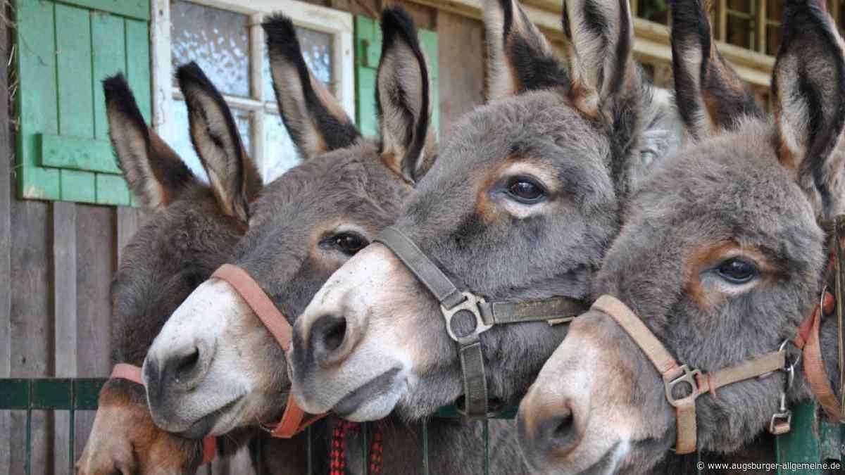 Polizisten fangen drei Esel im Wald ein - Augsburger Allgemeine