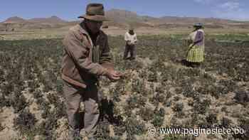 Una helada «quema 400»ha de haba, arveja y alfalfa en Patacamaya - Diario Pagina Siete