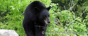 Colombie-Britannique: 100 000 $ d'amende et un an de prison pour avoir nourri des ours