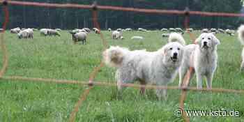 Herdenschutzhunde angeschafft: Wolf in Eitorf entdeckt - Kölner Stadt-Anzeiger
