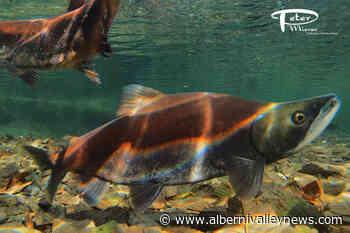 Vancouver Island film maker has a sockeye's view of salmon spawning ground - Alberni Valley News