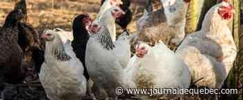 Grippe aviaire: les Pays-Bas abattent 190 000 poulets dans deux élevages