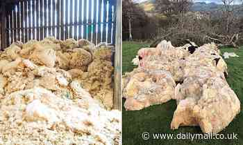 Farmers are turning 'worthless' woollen fleeces into compost