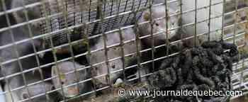 Un premier élevage de visons contaminé en France