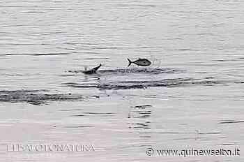 Lo spettacolo delle palamite che saltano nel porto - Qui News Elba