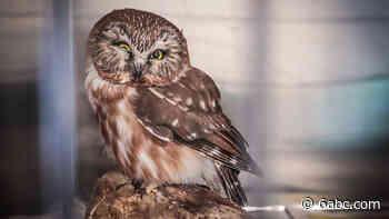 Injured owl rescued by middle school teacher in Bensalem, PA - WPVI-TV