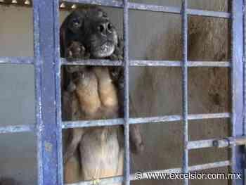 Ponen en adopción a 7 perros policías de Guanajuato - Excélsior