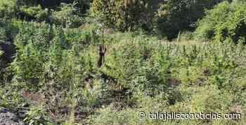 En Tequila localizan e incineran más de 7 mil plantas de marihuana - Tala Jalisco Noticias