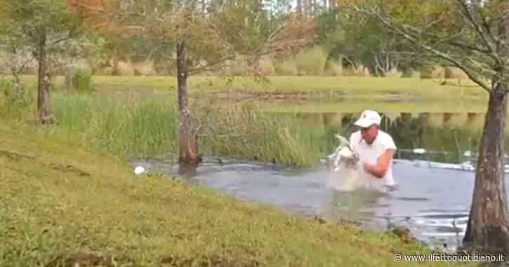 Lotta a mani nude con l'alligatore per salvare il suo cucciolo. L'incredibile scena ripresa in Florida