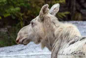 Crowdfunding campaign set up to find who shot white moose