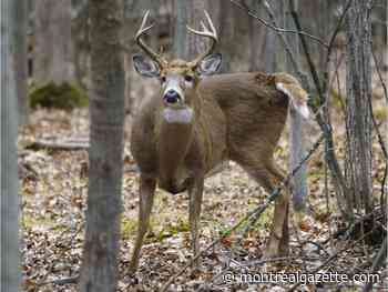 Animal-rights activists have plan to save deer in Longueuil park