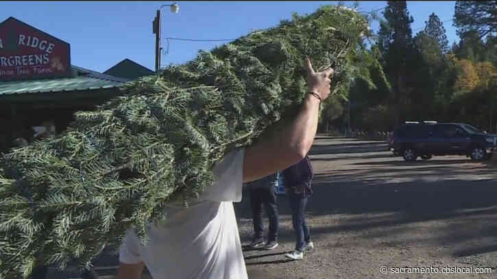 Customers Embrace Christmas Spirit As Tree Farms Open Early In Placerville Amid Pandemic