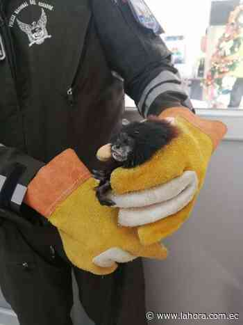 Rescatan animal silvestre en Pelileo : Noticias Tungurahua - La Hora (Ecuador)