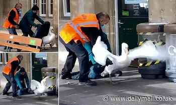 Cygnet failure! Hapless rail staff struggle to round up two runaway swans
