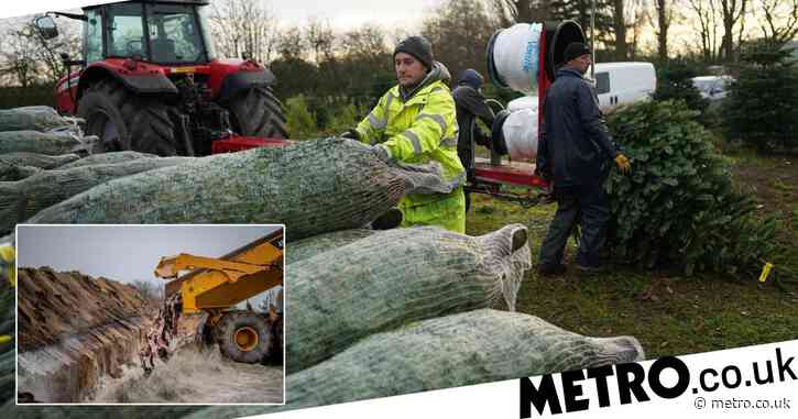 UK facing Christmas tree shortage because Denmark is fighting against mink
