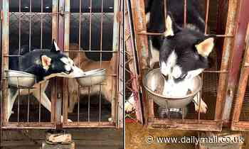 Naughty dog: Greedy husky steals its kennel neighbour's food when it has its back turned