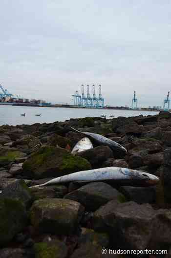 Dead fish wash ashore on Newark Bay - The Hudson Reporter