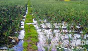 Cultivos de cebolla afectados por invierno en Aquitania, Boyacá - W Radio