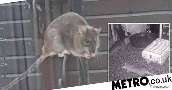 Manchester estate 'overrun' by monster rats 'the size of cats'