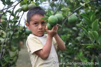 Chazuta producirá 50 hectáreas de limón Tahití para exportación - Diario Voces
