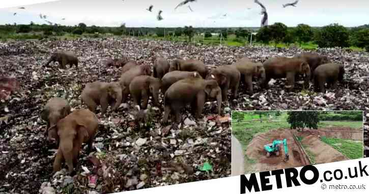 Starving elephants forced to dig through landfill for food, blocked by huge trenches