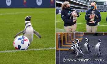 Four penguins enjoy a day out at Chicago Bears' Soldier Field
