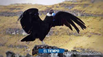 Partícipe en el primer Censo Nacional del cóndor de los Andes - El Tiempo