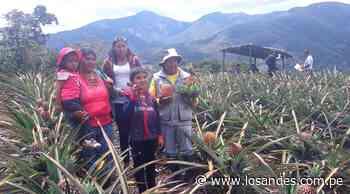 Yanahuaya lidera producción de piña – Los Andes - Los Andes Perú