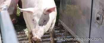 COVID-19: des dizaines de milliers de porcs prêts pour l'abattage au Québec