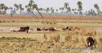 La sequía impactó fuerte en el sector ganadero - Bae Negocios