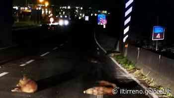 Otto cinghiali travolti e uccisi sulla Tangenziale di Pistoia - Il Tirreno