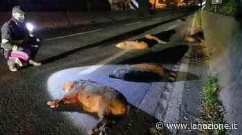 Pistoia, strage di cinghiali in superstrada - LA NAZIONE