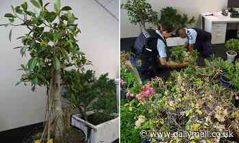 Plant enthusiast is charged after stealing 45 bonsai plants worth $30,000 from his neighbours