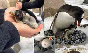 Adorable Gentoo penguin chicks hatch at Melbourne aquarium