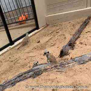 Meerkats at Rockhampton zoo - Morning Bulletin